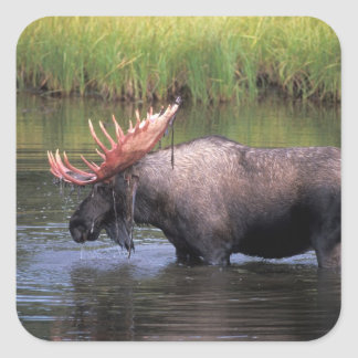 moose, bull in a kettle pond and feeds on square sticker