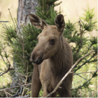Moose Calf Photo Sculptures