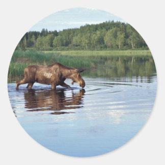 Moose Feeding in Lake Classic Round Sticker