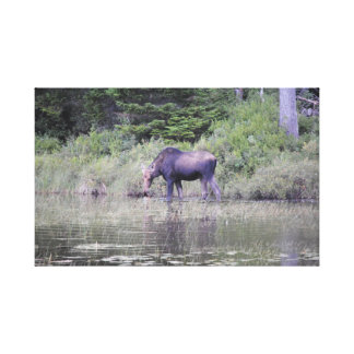 Moose Grassing in Maine Canvas Print