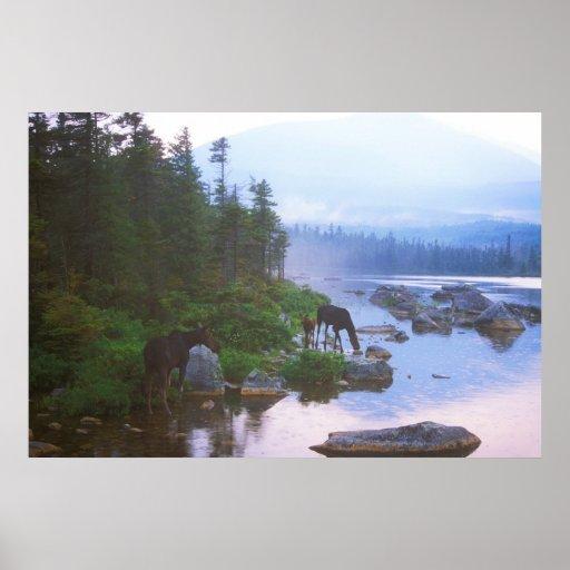 Moose in Evening Rain Poster