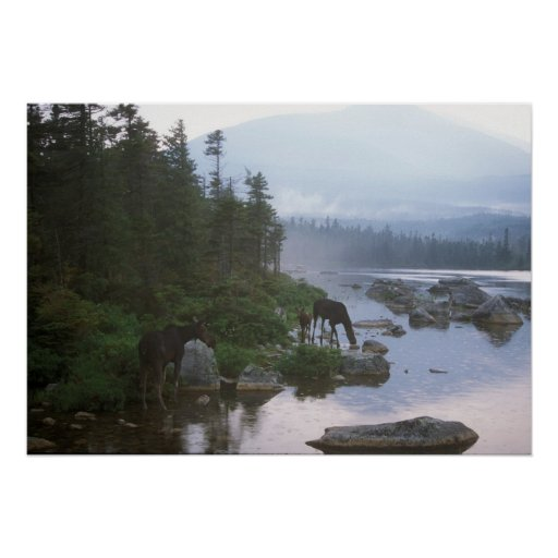 Moose in evening storm, Baxter State Park Print