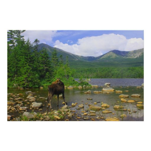 Moose Looking Back at Sandy Stream Pond Posters