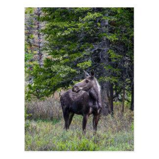 Moose Mother Postcard