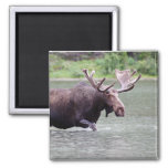 Moose on a Mission Square Magnet