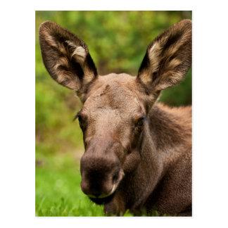 Moose Portrait Postcard