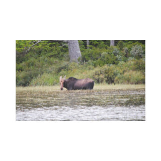 Moose Taking a Swim Before Sunset Canvas Print