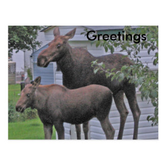 Moose with calf - Greetings Postcard