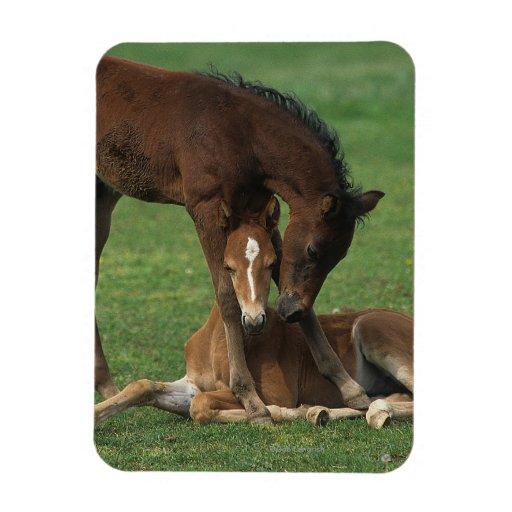 Morgan Foals Playing Vinyl Magnet