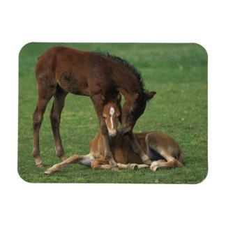 Morgan Foals Playing Rectangular Photo Magnet