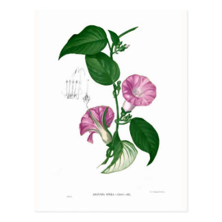 Morning glory (Argyreia sp) Postcard