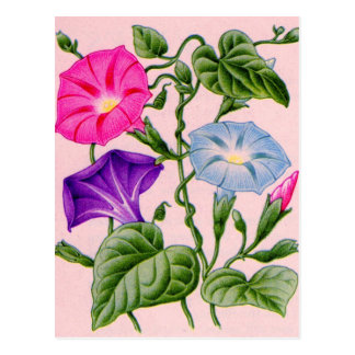 morning glory in blue and pink postcard