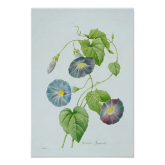Morning Glory Poster