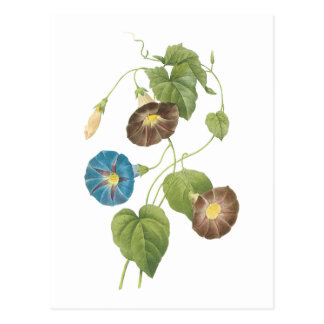 morning glory(Spomaea quamoclit) by Redouté Postcard