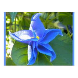 Morning Glory Star Postcard
