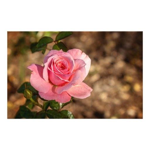 Morning of the Pink Rose Photograph