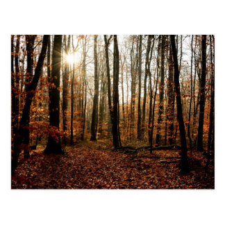 Morning sunbeams through the forest postcard