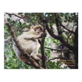 Morocco-Barbary Macaque Postcard