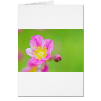 Mossy Saxifrage or rockfoil flowers macro view Card