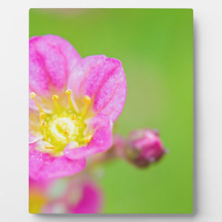 Mossy Saxifrage or rockfoil flowers macro view Plaque