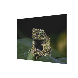 Mossy Treefrog, Theloderma corticale, Native 2 Canvas Print