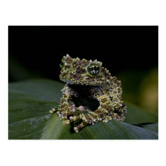Mossy Treefrog, Theloderma corticale, Native 2 Postcard