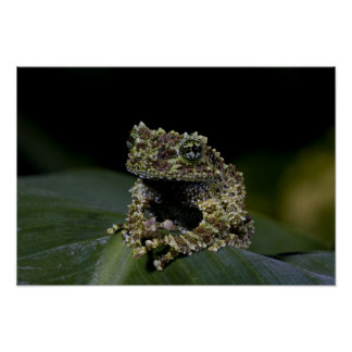 Mossy Treefrog, Theloderma corticale, Native 2 Poster