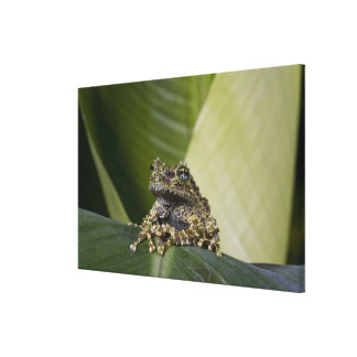 Mossy Treefrog, Theloderma corticale, Native Canvas Print