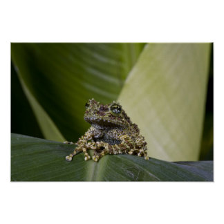 Mossy Treefrog, Theloderma corticale, Native Poster