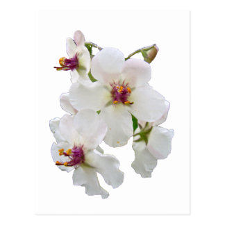 Moth Mullein Wildflower Postcard