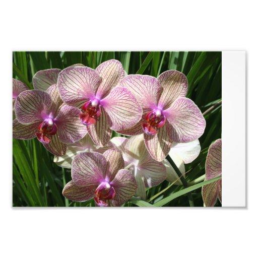 Moth Orchid Art Photo