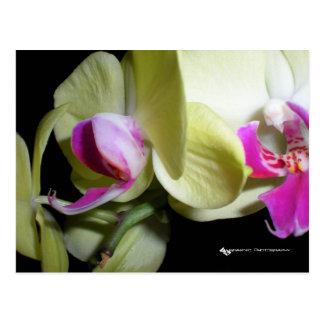 Moth Orchid Postcard