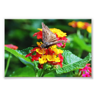 Moth Pollinating Yellow and Red Flowers Print Photo Art