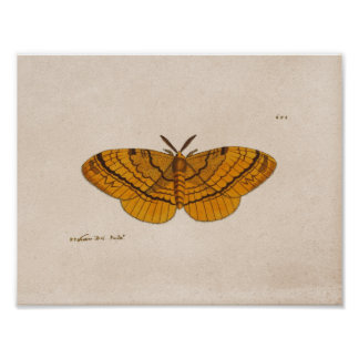 Moth scientific illustration print