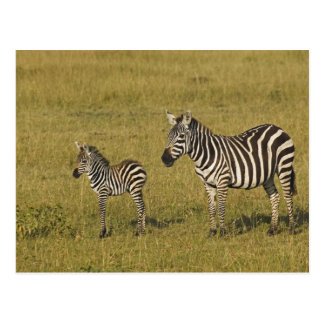 Mother and baby Burchell's Zebras, Equus Postcard