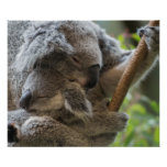 Mother and baby joey koalas asleep cuddling poster