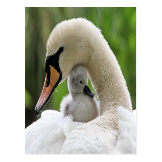 Mother And Baby Swan Postcard