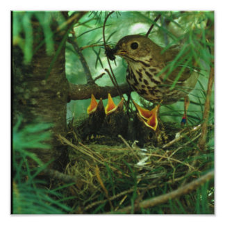 Mother Bird Feeding Hungry Baby Birds Poster