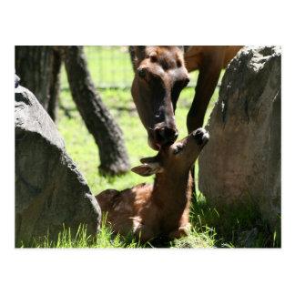 Mother elk kisses baby postcard