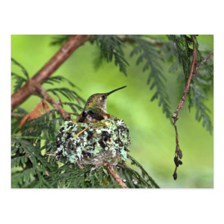 Mother Hummingbird on Nest Postcard