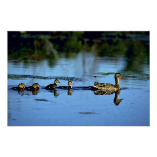 Mother Mallard Duck With Chicks Poster