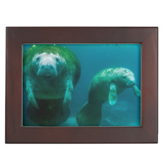 Mother manatee with her calf in Crystal River Keepsake Box