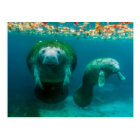Mother manatee with her calf in Crystal River Postcard