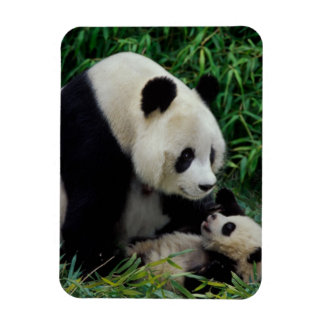 Mother panda and baby in the bamboo bush, Wolong Magnet