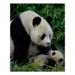 Mother panda and baby in the bamboo bush, Wolong Print