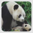 Mother panda and baby in the bamboo bush, Wolong Square Sticker
