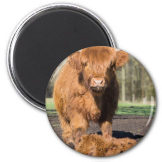 Mother scottish highlander cow near newborn calf 2 inch round magnet