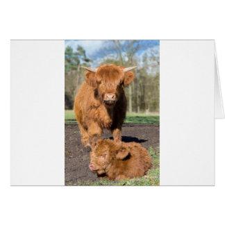 Mother scottish highlander cow near newborn calf card