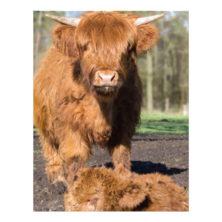 Mother scottish highlander cow near newborn calf letterhead