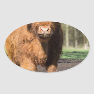 Mother scottish highlander cow near newborn calf oval sticker